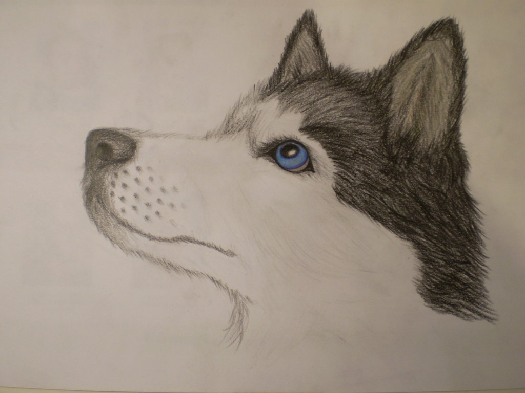 Drawn animal husky #4