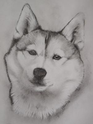 Drawn animal husky #3