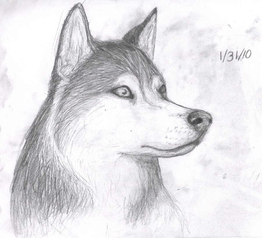 Drawn husky Pencil Husky Drawing Realistic Pic
