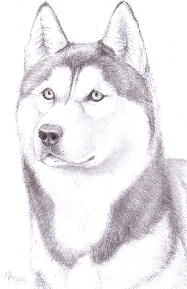Drawn husky Pencil Husky Drawing Realistic Realistic