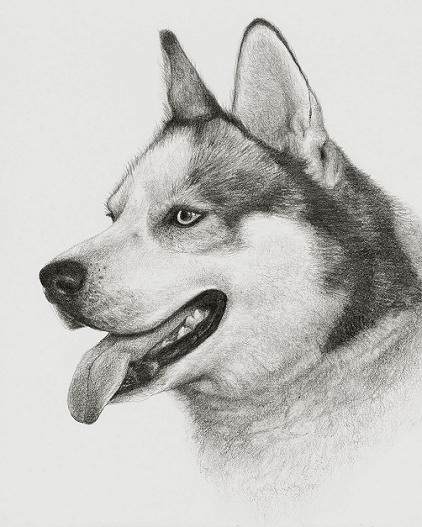 Drawn animal husky #1
