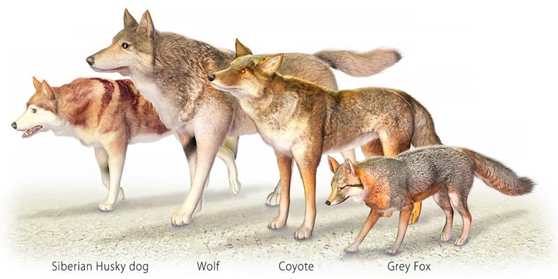 Drawn husky coyote Fox grey grey coyote wolf