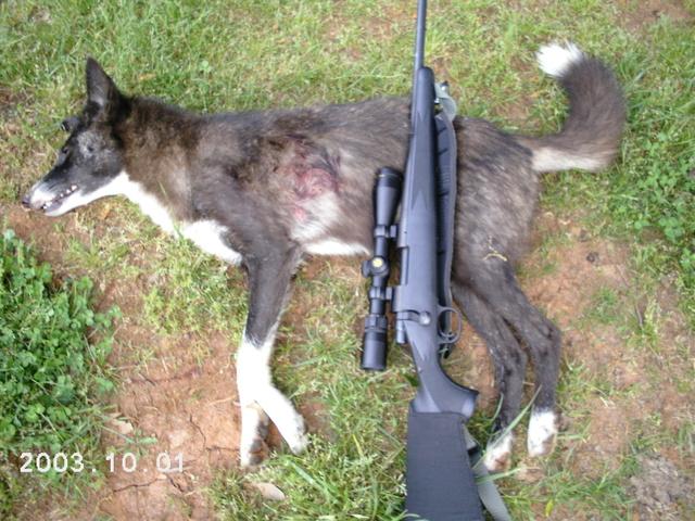 Drawn husky coyote Coyote photo#17 mix husky german