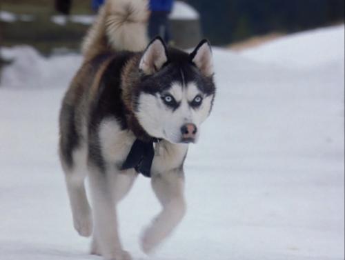Drawn husky demon dog Demon dog and Snow Siberian