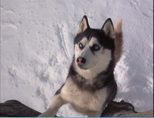 Drawn husky demon dog Demon Snow Snow wallpaper Huskies