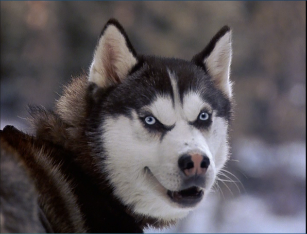 Drawn husky demon dog 2002 encyclopedia Snow  free