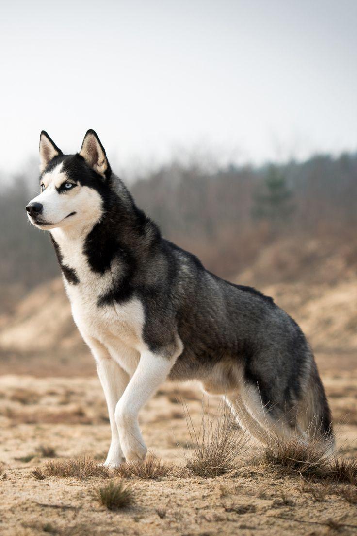 Drawn husky demon dog Demon Cute Sandy Cute this