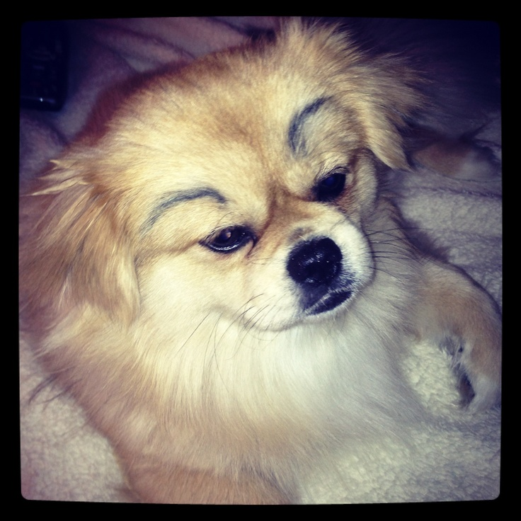 Drawn pug eyebrow Eyebrows on Funny on dogs