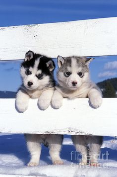 Drawn husky fluffy dog Husky malamute? Pinterest Puppies Siberian