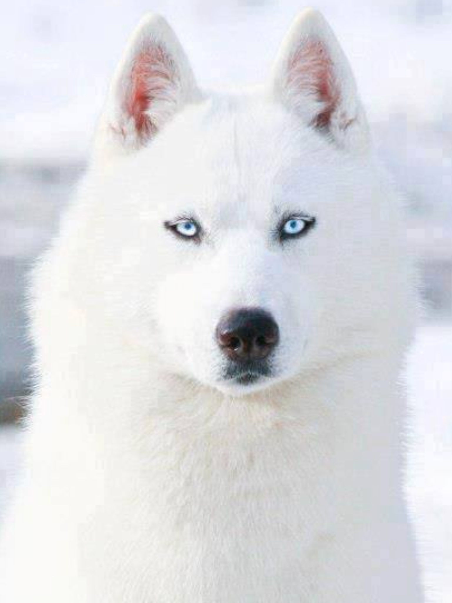 Drawn husky fluffy dog Blue PUPPIES White Eyes AND