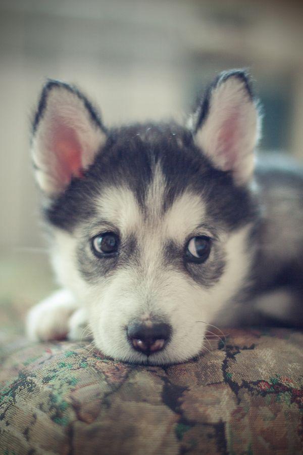 Drawn husky fluffy dog Husky on best dog Pinterest