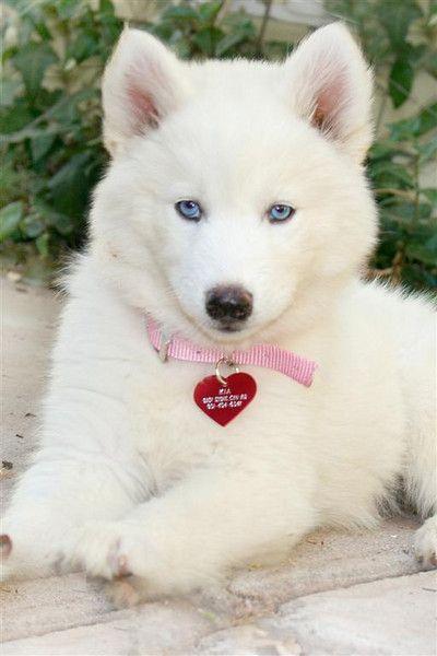 Drawn husky fluffy dog Cheeky husky 25+ on Siberian