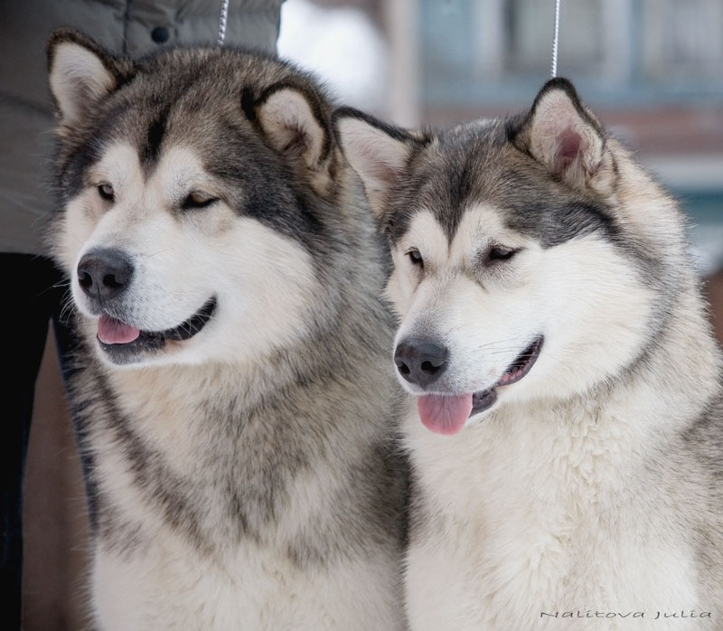 Drawn husky fluffy dog Faces Huskies up faces up