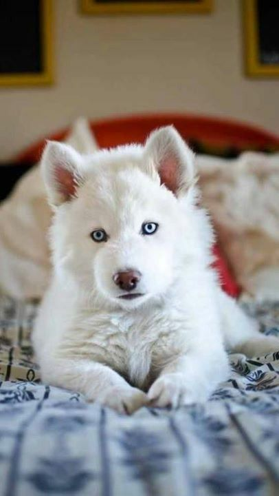 Drawn husky harlem Best images Cute Dogs