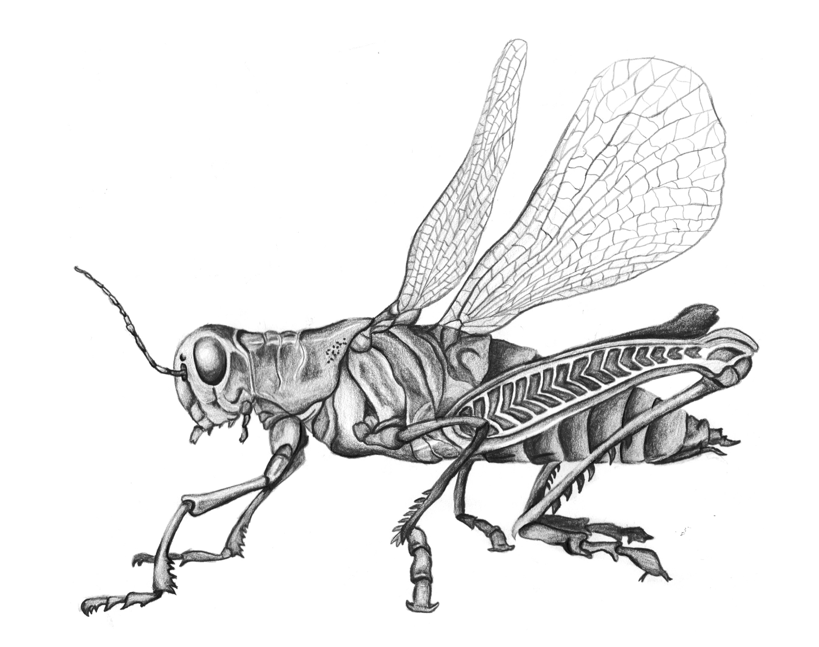 Drawn insect #13