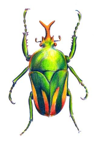 Drawn braid insect A with Pinterest Pencils Beetle