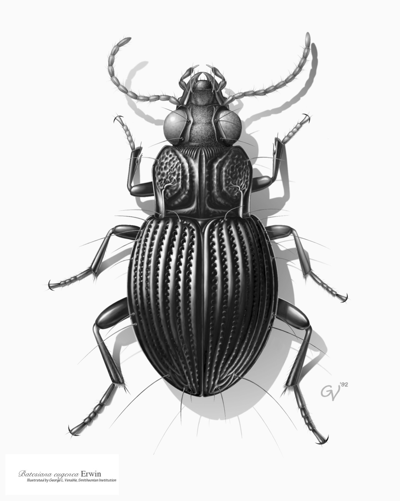 Drawn bugs beetle A America Drawing Drawing Credit:
