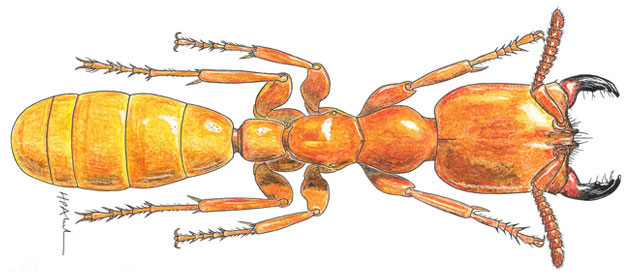Drawn bugs termite Of Official Photo Website Insects