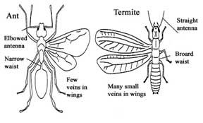 Drawn bugs termite Part a in control Queen