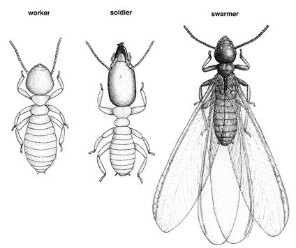 Drawn bugs termite 06 Formosan subterranean soldier