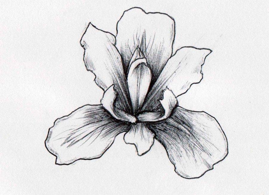 Drawn iris Of with black pencil drawn