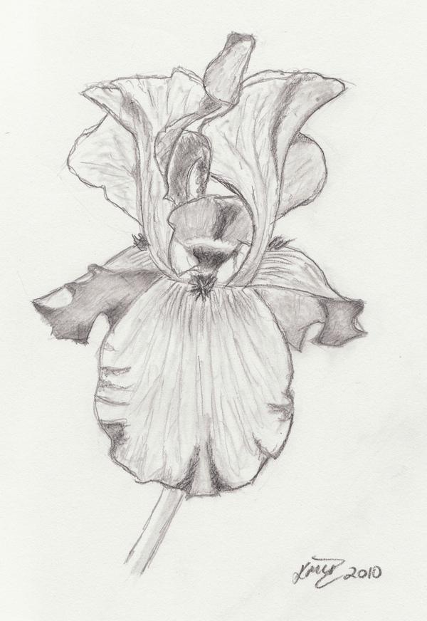 Drawn iris Pic Art Images Drawing Pencil