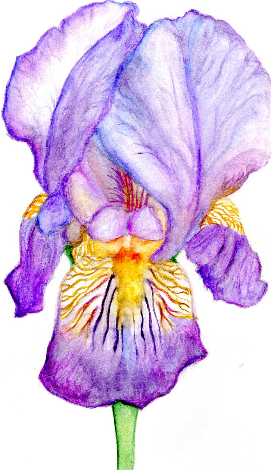 Drawn iris Drawing Art Images Drawing Pencil
