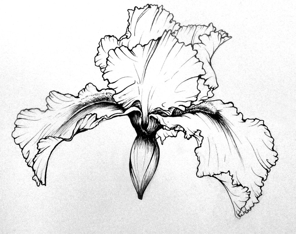 Drawn iris Iris studies Iris deviantart deviantart
