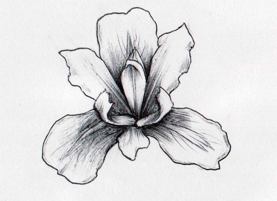 Drawn iris Drawings studies Iris Tree deviantart