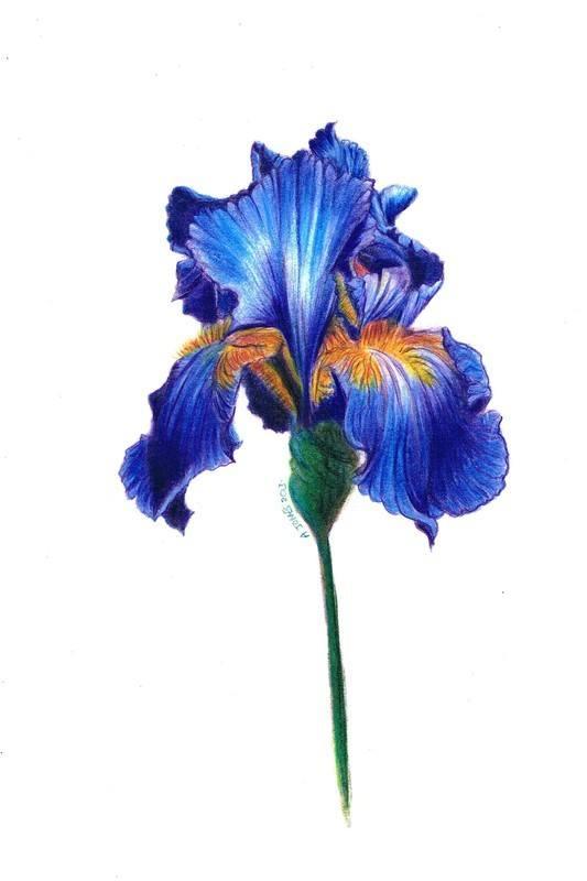 Drawn iris Of flower Iris Iris painting