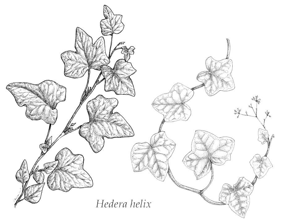 Drawn ivy ivy leaf Vines · drawing with zoeken