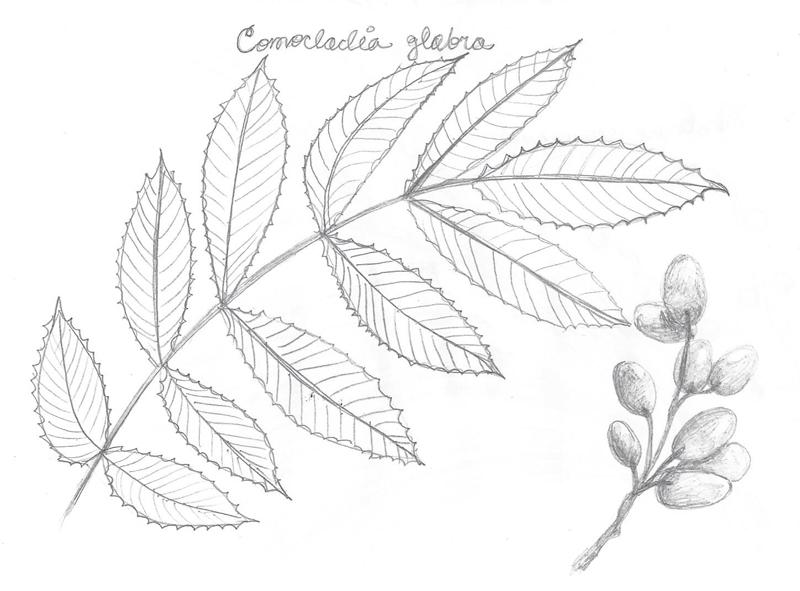 Drawn ivy Shrub poisonous as similar in