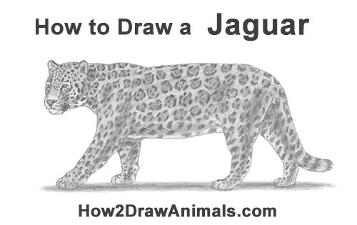 Drawn jaguar carnivore How Jaguar draw jpg to