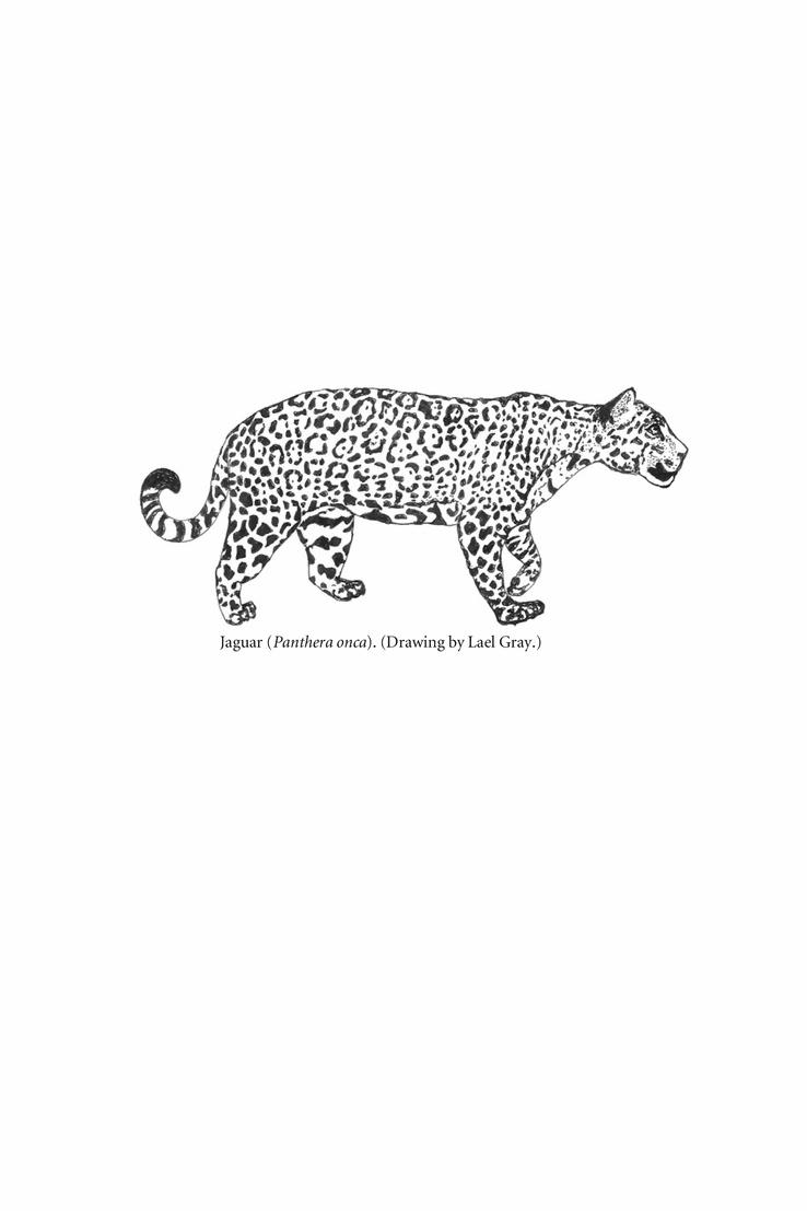 Drawn jaguar carnivore (Panthera Carnivore Springer onca) Carnivore