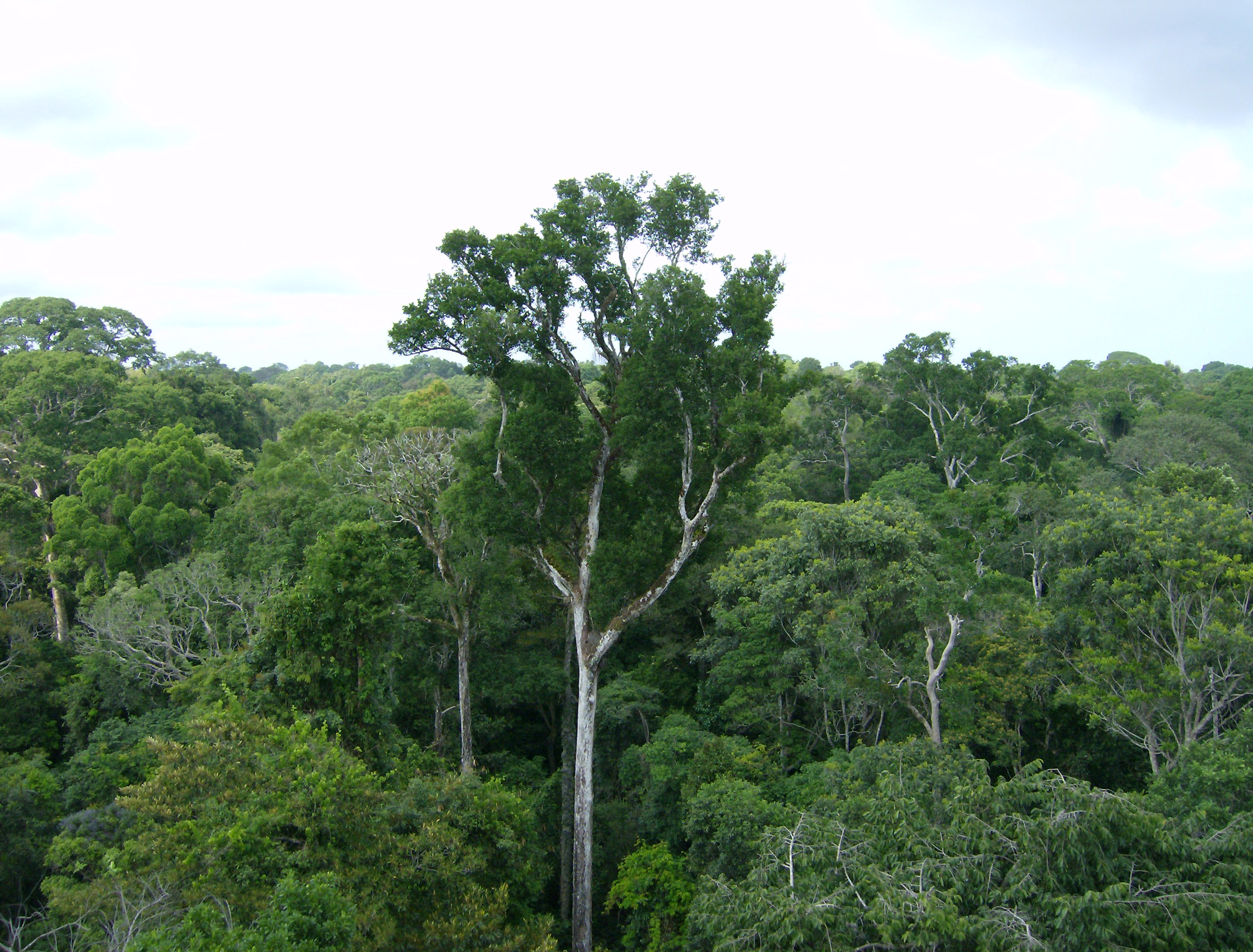 Drawn rainforest amazon forest Amazon It in More growth