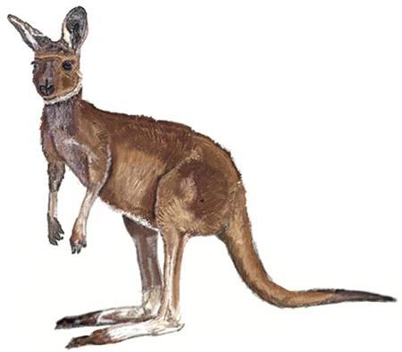 Drawn kangaroo Step Draw to How Draw