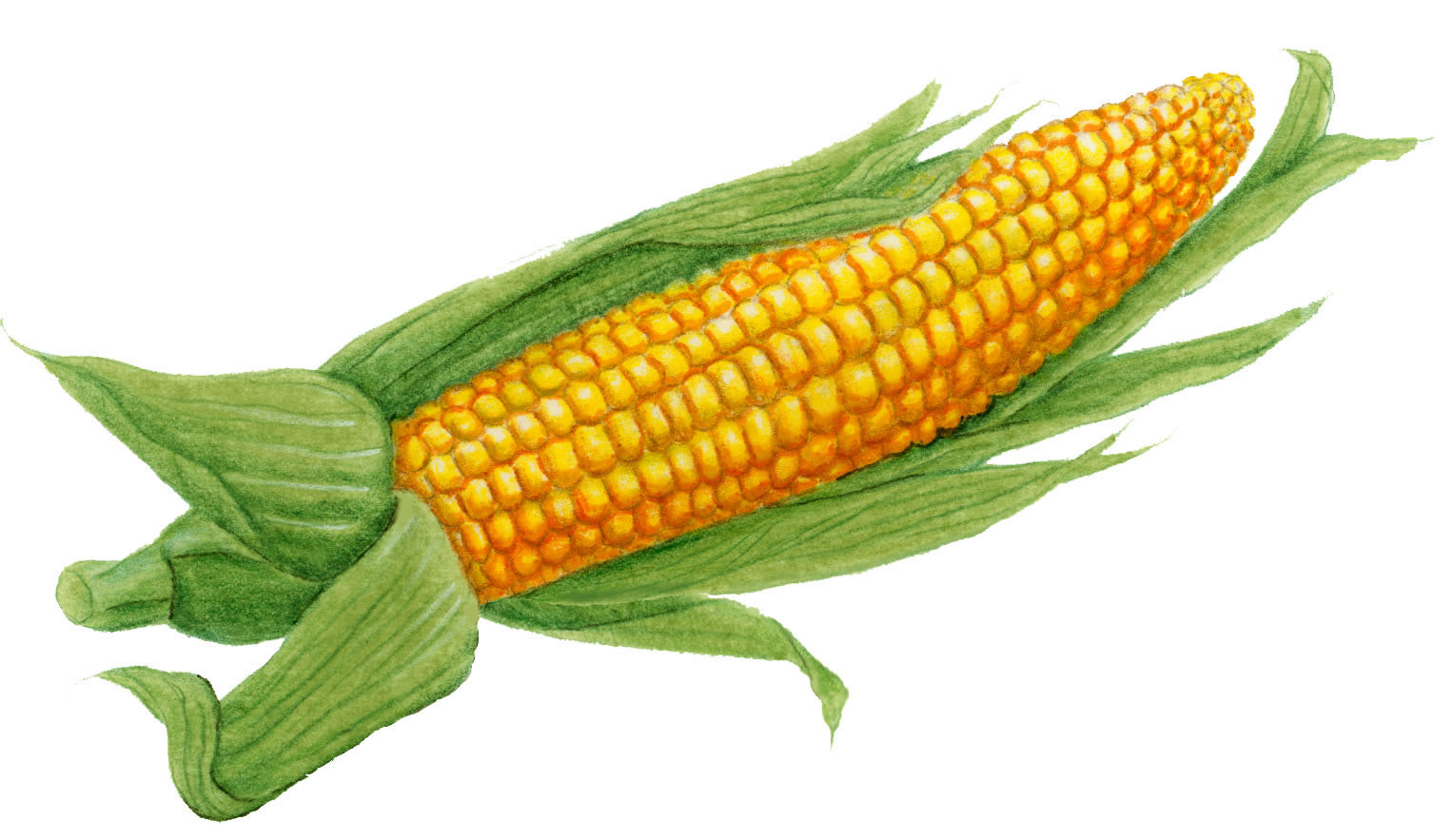 Drawn korn ear corn Of Cob draw a corn
