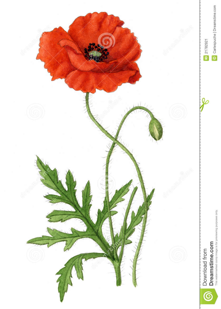 Drawn poppy vintage Flower with with open leaves