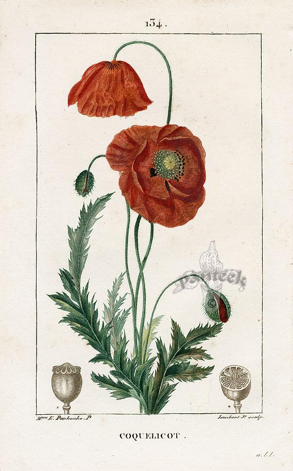 Drawn poppy hand drawn Print botanical Antique print CORN