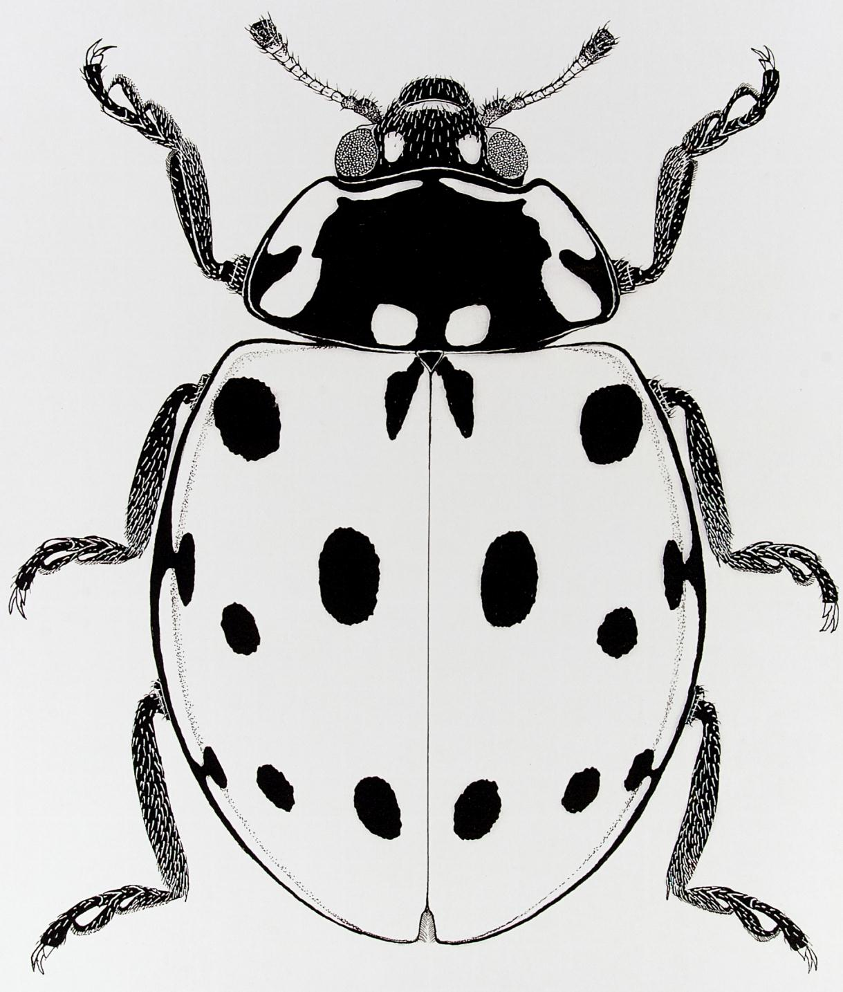 Drawn lady beetle Collections: Entomological Coleoptera drawing for