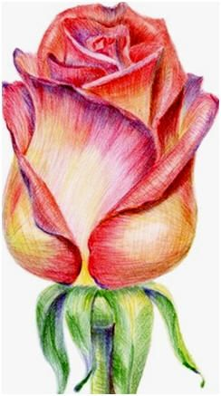 Drawn rose bush color shading With Learn and Landscapes best