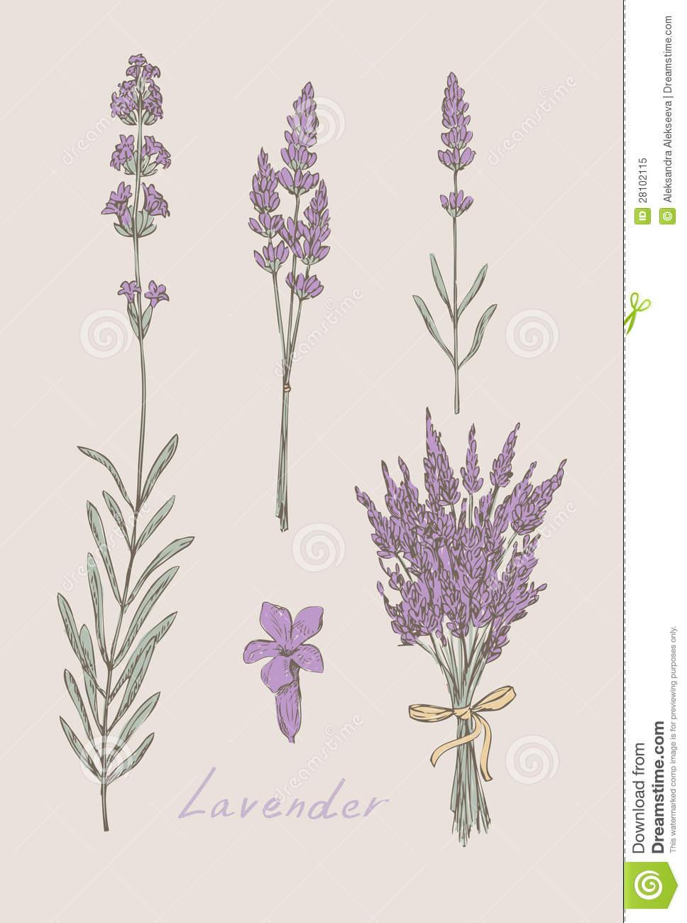 Drawn lavender #1