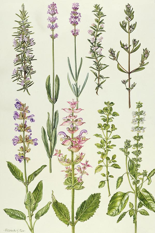Drawn herbs Herbs Other Herbs Other and