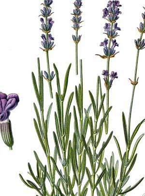 Drawn lavender Drawing  Lavender Herb