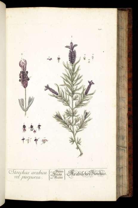 Drawn lavender Lavandula called Stoechas arabica Herbarium