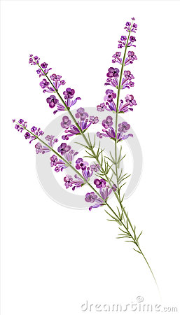 Drawn lavender Drawing Watercolor Lavender Drawing Watercolor