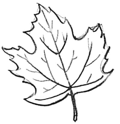 Drawn maple leaf Draw step to  by