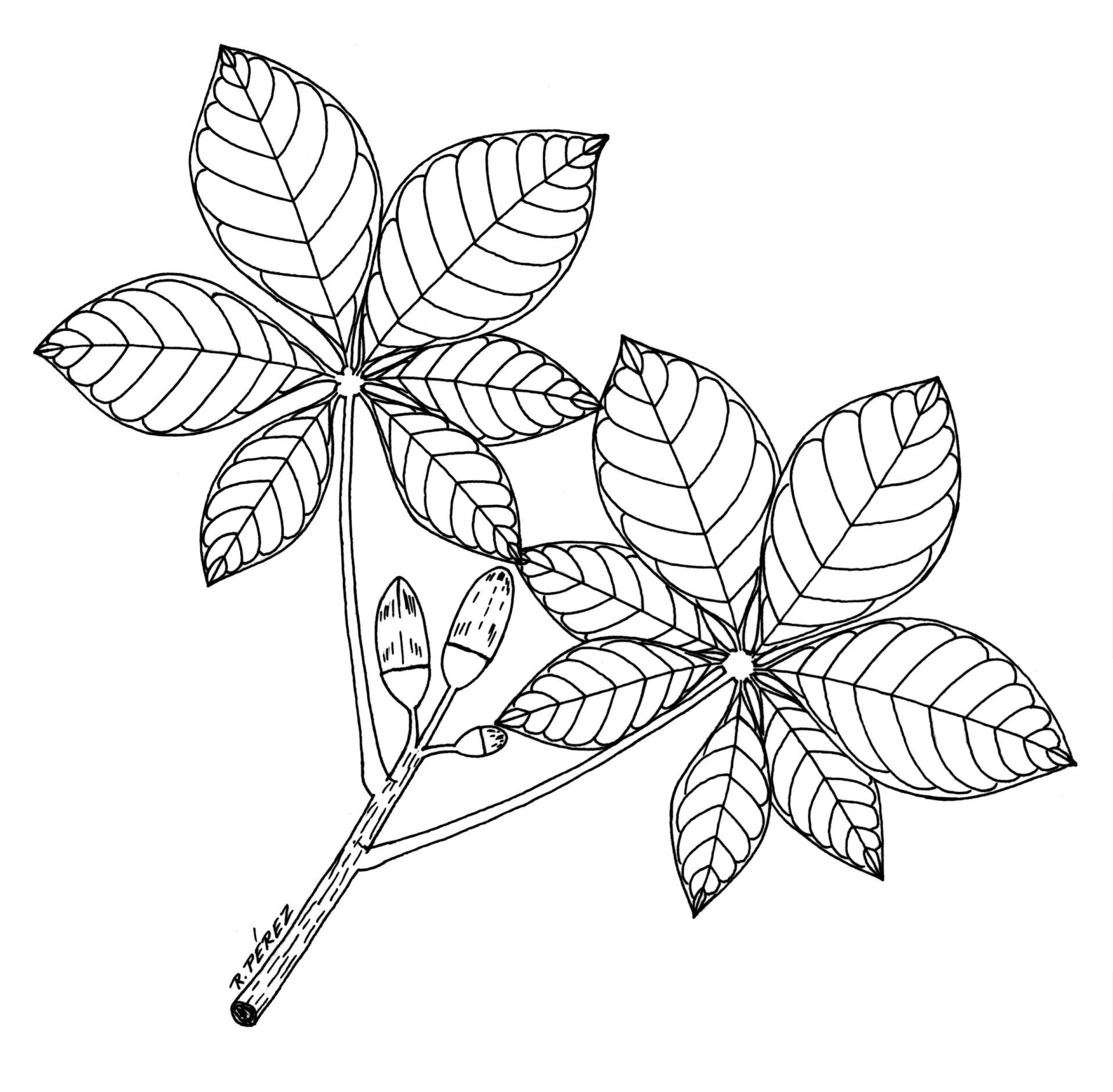 Drawn leaves flower leaves  Panama tree watershed atlas