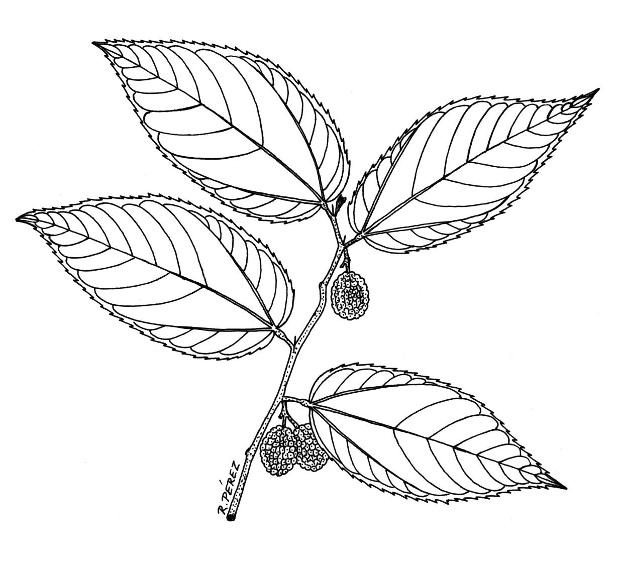 Drawn leaves flower leaves Tree Drawing: R atlas Panama