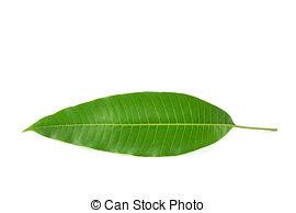 Drawn leaf mango leaf #13